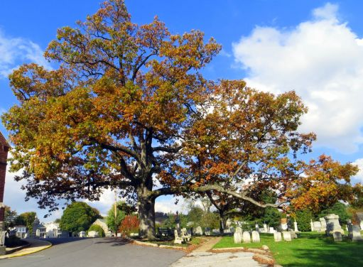 White_Oak_Tree_Maryland
