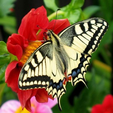 Fesoj_-_Papilio_machaon_(by)